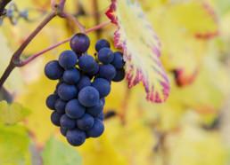 Reife Trauben an einer Weinrebe