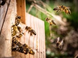 Bienen beim Anflug aufs Nest